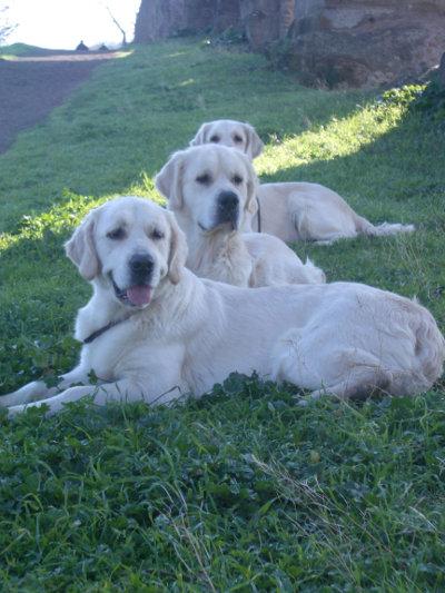 Educazione del cane stargolden for Educazione cane